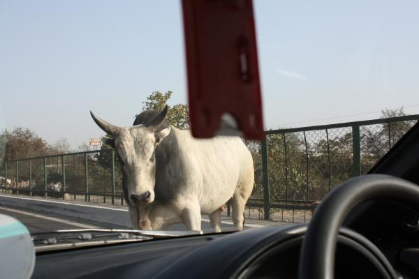 Правила вождения в Индии: водители игнорируют светофоры, остановить их сможет только корова